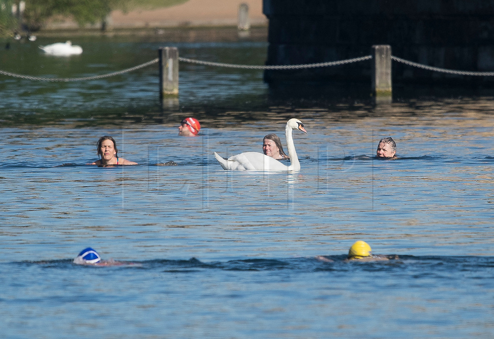 © Licensed to London News Pictures. 20/05/2020. London, UK. Members of the Serpentine Swimming club pass a swan while swimming in the open water of the Serpentine Lake in order to socially distance, at Hyde Park in London during lockdown. Government has announced a series of measures to slowly ease lockdown, which was introduced to fight the spread of the COVID-19 strain of coronavirus. Photo credit: Ben Cawthra/LNP