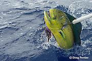 skipper Steve Campbell, on Reel Addiction, gaffs a mahimahi, dorado, or dolphinfish, Coryphaena hippurus, Vava'u, Kingdom of Tonga, South Pacific