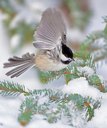 Alaska. Black-capped Chickadee (Poecile atricapillus) wingflap in winter.  Note overgrown bill.