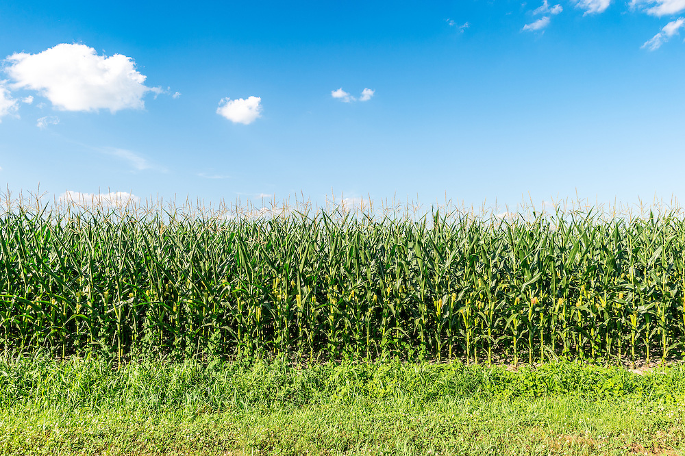 A fertile field of corn on a local Maryland farm.
