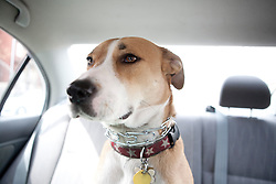 Dog Sitting in Car Back Seat