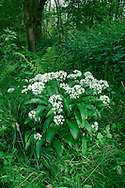 RAMSONS Allium ursinum (Liliaceae) Height to 35cm<br /> Bulbous perennial that smells strongly of garlic. Grows in damp woodland, mainly on calcareous soils; where conditions suit its needs it often spreads, forming extensive carpets. FLOWERS are 15-20cm across, white and bell-shaped; borne in spherical, terminal clusters on slender, 3-sided and leafless stalks (Apr-May). FRUITS are capsules. LEAVES are ovate, up to 7cm wide and 25cm long, and all basal. STATUS-Widespread throughout much of the region, and locally abundant.