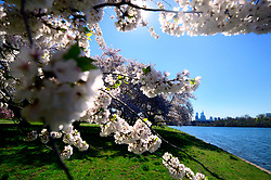 Philadelphia, PA, USA - April 10, 2019; Cherry blossoms in full bloom at the east bank of the Schuylkill River, in the Fairmount Park section of Philadelphia, Pennsylvania. Each spring the vibrant tree line proves popular amongst tourists, photographers and Instagrammers.