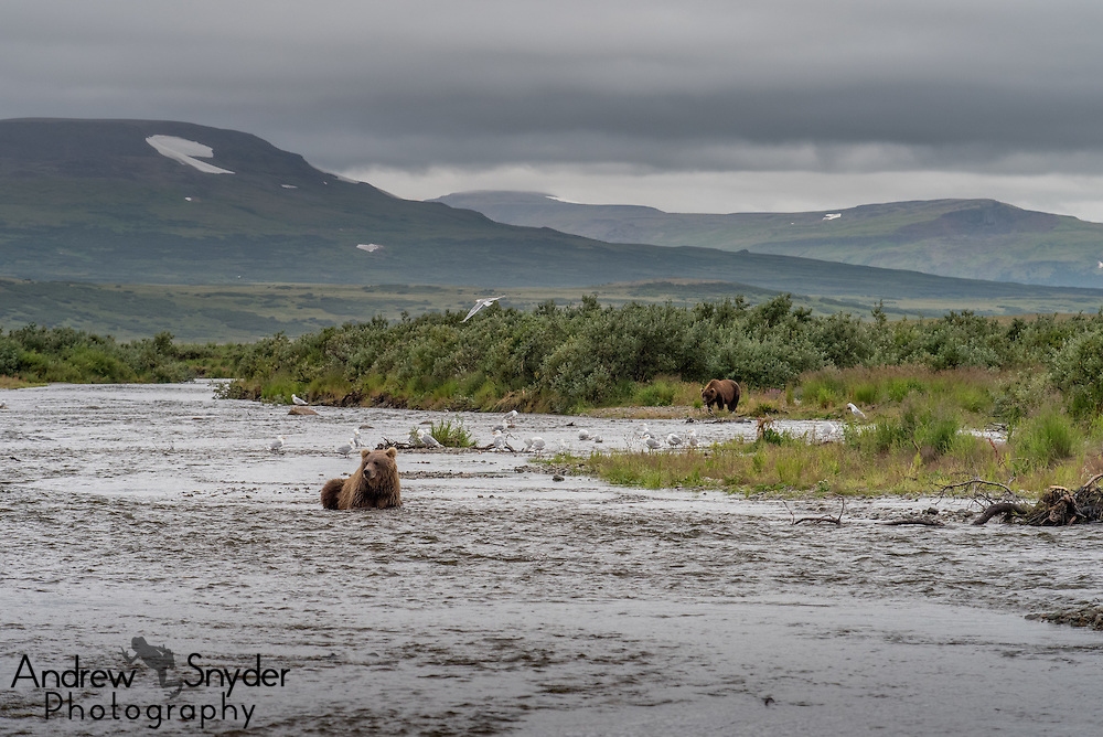 Brown bears along the river - Katmai, Alaska