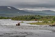 Brown bears along the river - Katmai, Alaska