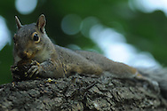 Squirrel laying down on tree branch with a nut as he shells it and eats it.