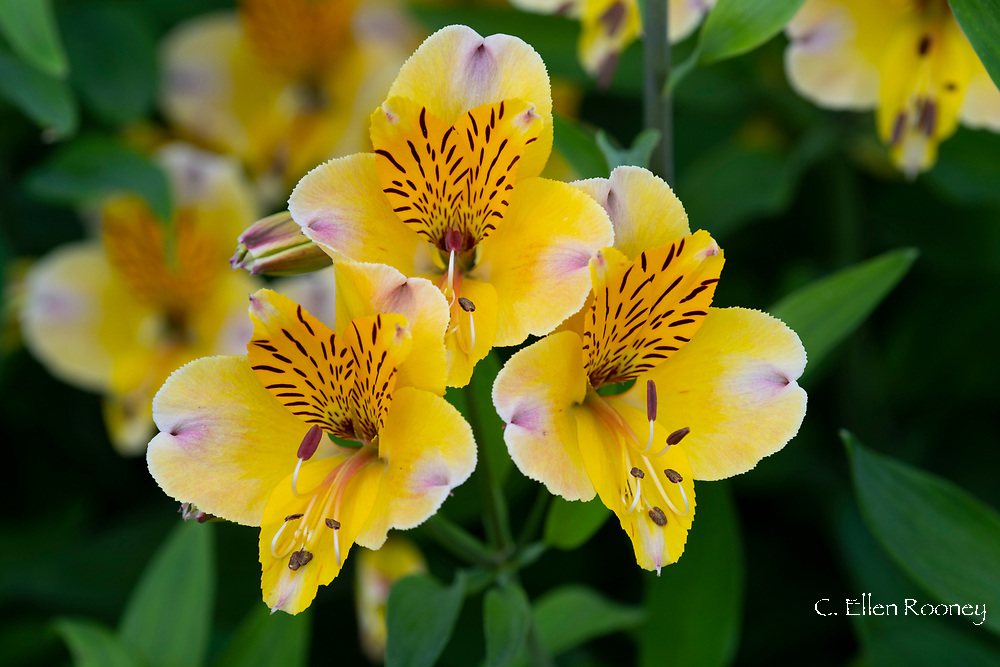 A close-up of yellow Alstroemeria in a border at Cothay Manor, Greenham, Wellington, Somerset, UK