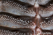 extreme close-up of sucking disc or attachment disc of remora, or discfish or suckerfish, Remora osteochir (commensal on billfishes), showing tiny teeth on edges of laminae, or panels, of disc, Kona, Hawaii (specimen)