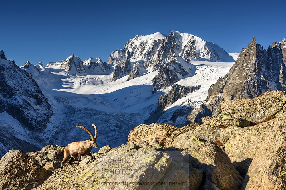 Male Alpine ibex (Capra ibex) with Mont Blanc and Mont Blanc du Tacul, Chamonix, France / Impressionen beim Refuge du Couvercle am Fuss der Aiguille Verte über dem Mer de Glace an einem sehr schönen Herbsttag im September