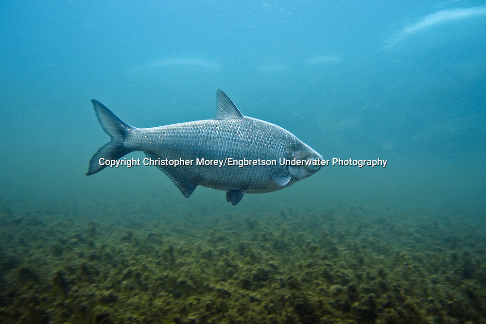 Gizzard Shad<br /> <br /> Christopher Morey/Engbretson Underwater Photo