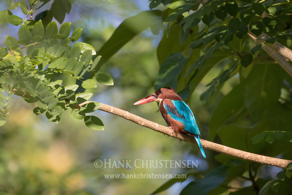 A white-breasted kingfisher perches on a sunny branch, Tamil Nadu, India.