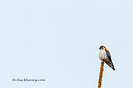 American kestrel at the National Bison Range near Moiese, Montana, USA