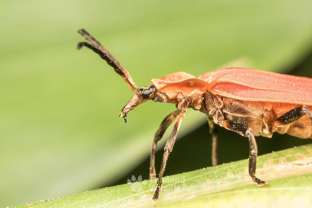 Closeup of a Lycidae, net winged beetle. Kaeng Krachan National Park, Thailand.