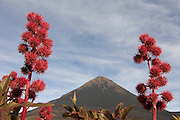Blooms with the vulcano in background. Fogo. Cabo Verde. Africa.