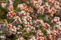 Eriogonum fasiculatum (California buckwheat) at Grizzly Flat, Los Angeles Co, CA, USA, on 12-Aug-18