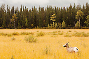 CANADA, Jasper National Park.Bighorn sheep (Ovis canadensis) in a meadow