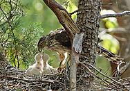 Female Cooper's Hawk (Accipiter cooperii) feeding two chicks in nest in the Chiricahua Mountains, Arizona