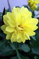 30 May 2009: yellow dahlia bloom