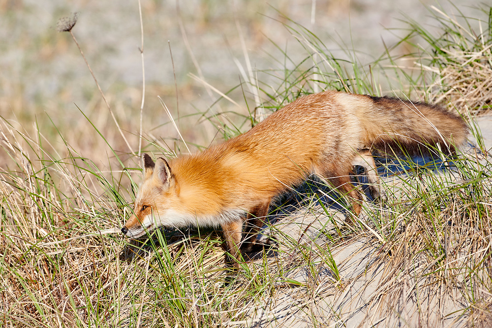 Red Fox among sand dunes, Crescent Beach, Nova Scotia, Canada