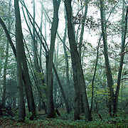 Woodland Mist, Thornham Walks, Suffolk, 2010