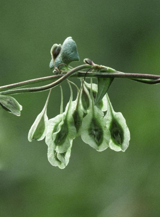 COPSE-BINDWEED Fallopia dumetorum. Similar to Black-bindweed F. convolvulus but has much longer fruit stalks (4-8mm). Scarce.
