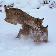 Canada Lynx, (Lynx canadensis) Montana. Sub adults playing in snow.Winter. Captive Animal.