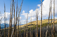 Dead trees and a mountain ridge on Dunraven Pass in Yellowstone National Park, Wyoming, USA.