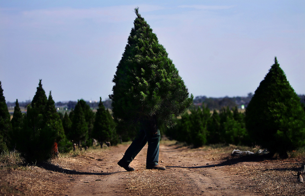 Fabio Iuele busy at work at North Pole Christmas Tree Farm as Christmas draws nearer Pic By Craig Sillitoe...coniferous, trees, carries, carry, carrying melbourne photographers, commercial photographers, industrial photographers, corporate photographer, architectural photographers, This photograph can be used for non commercial uses with attribution. Credit: Craig Sillitoe Photography / http://www.csillitoe.com<br />