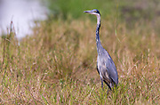Black-headed heron (Ardea melanocephala) from Maasai Mara, Kenya.