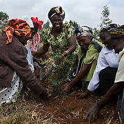 August 26, 2008, Nairobi, Kenya: Nobel Peace Prize laureate Wangari Maathai plants trees with volunteers to rehabilitate a cleared section of Karura Forest in Nairobi.. Credit: Evelyn Hockstein / Polaris