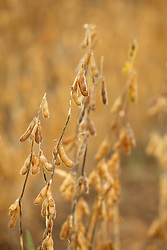 Soja madura,  pronta para colher./ Soybeans mature, ready to harvest. Goias, Brazil