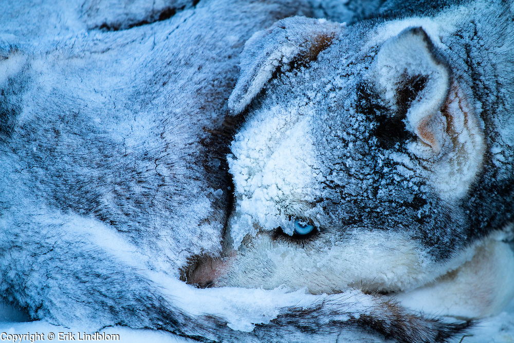 A sled dog wakes up after a very cold night in the snow.