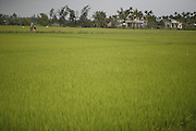 Hoi An, Vietnam. March 14th 2007..A paddy in the village of Thuan Tinh.