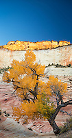 Yellow leaves indicate Autumn on this old cottonwood tree in the East section of Zion National Park, Utah.