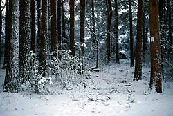 SWEDEN FJALLBACKA JAN04 - Snow-covered pine forest near Fjallbacka, Sweden.. . jre/Photo by Jiri Rezac. . © Jiri Rezac 2004. . Contact: +44 (0) 7050 110 417. Mobile:  +44 (0) 7801 337 683. Office:  +44 (0) 20 8968 9635. . Email:   jiri@jirirezac.com. Web:    www.jirirezac.com.