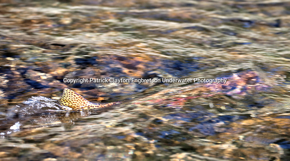 Golden Trout (Spawning)<br />