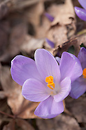 Early Spring Crocus pushing through leaf litter