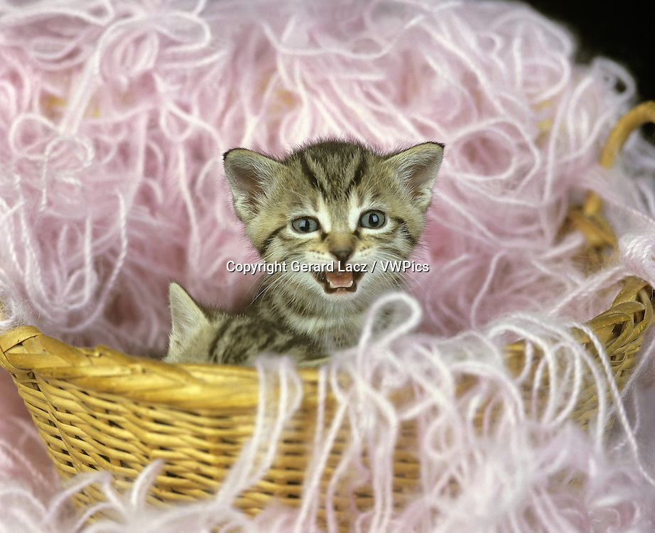 EUROPEAN BROWN TABBY DOMESTIC CAT, KITTEN MEOWING IN BASKET WITH WHOOL