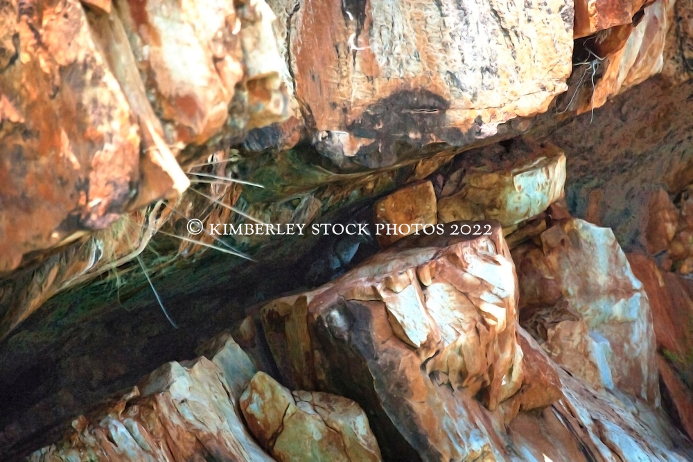 A Narbalek, or Little Rock Wallaby (Petrogale concinna monastria) hides in a rocky crevice near Silvergull Creek on the Kimberley coast.  These small wallabies only weight about 1.3-1.4kg, and are found in King Leopold Range Sandstone country.