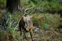 © Licensed to London News Pictures. 09/10/2016. London, UK. A deer stag with it's antlers caught on branches, on a bright Autumnal morning in Richmond Park in London. Photo credit: Ben Cawthra/LNP