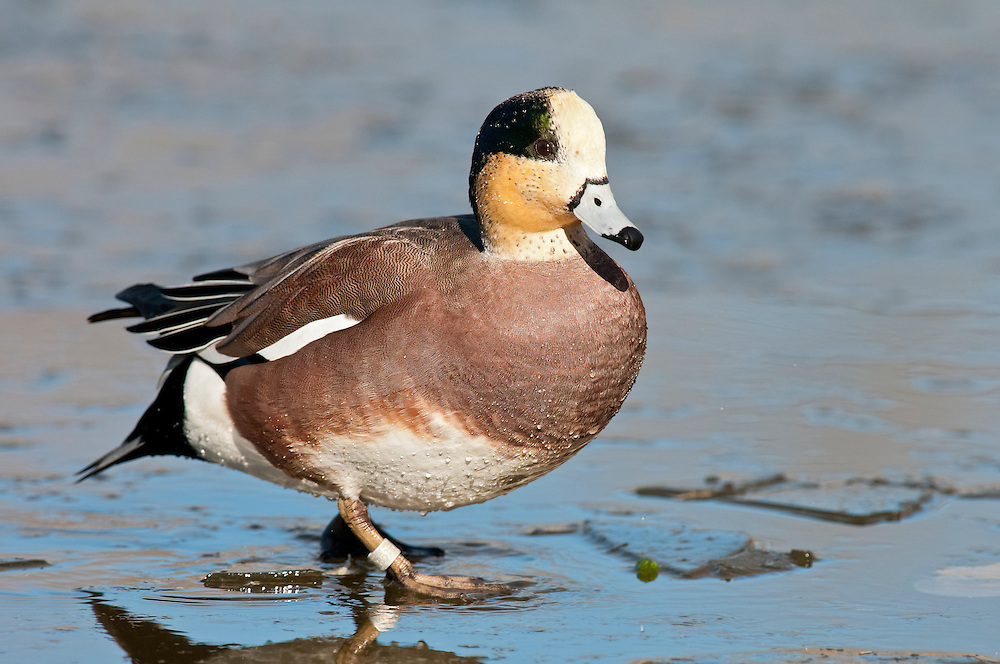 American Wigeon, Anas americana, banded male, Socorro, New Mexico