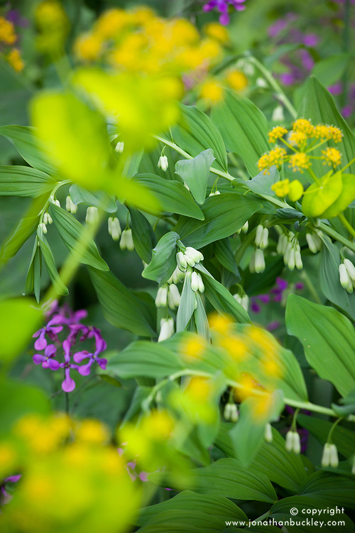 Polygonatum × hybridum AGM (Solomon's seal) with Smyrnium perfoliatum and Lunaria annua (Honesty)