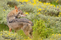 Wolf, Canis lupus, near Deven, Western Rhodope mountains, Bulgaria