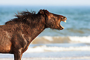 Wild stallion on the beach.