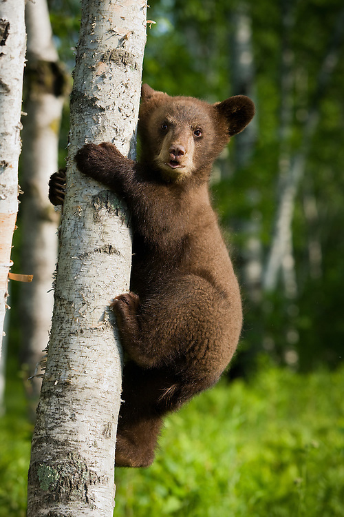 Cute black bear cub climbing a birch tree with the green color of spring.