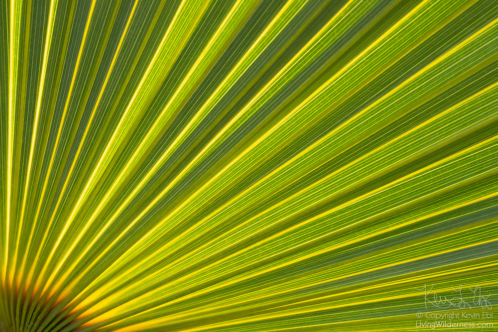 A close-up of a coconut palm (Cocos nucifera) frond reveals the detail of its radiating, green lines. This palm tree was found in the Vieques National Wildlife Refuge on the Caribbean island of Vieques, Puerto Rico.