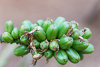 Aloe seed pods, Hlane Royal National Park, Swaziland