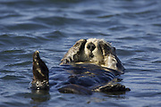 Southern Sea Otter<br /> Enhydra lutris<br /> Monterey Bay,  CA, USA