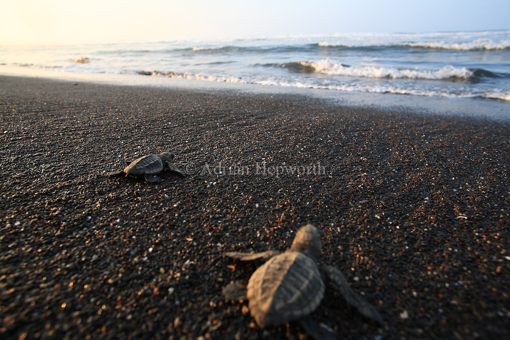 Olive Ridley Turtle hatchlings (Lepidochelys olivacea) walking to ocean in Ostional Wildlife Refuge, Costa Rica.<br /> <br /> For pricing click on ADD TO CART (above). We accept payments via PayPal.