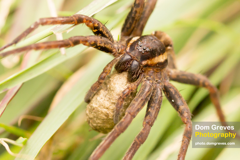 Female raft spider carries her egg sac beneath her body. Arne, Dorset, UK.